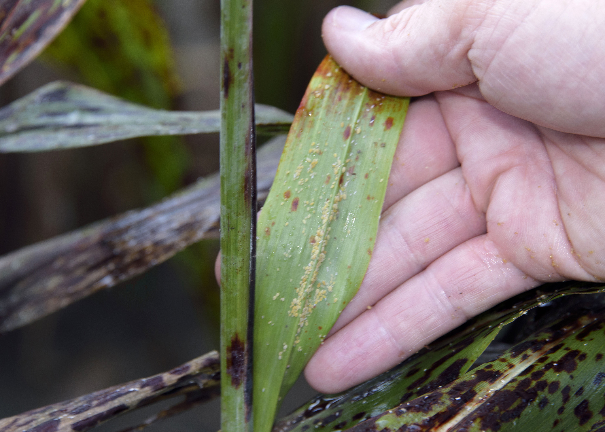 Sugarcane aphids can be seen as dozens of yellowish dots on the surface of this grain sorghum leaf on Sept. 15, 2016, on a Mississippi State University research field in Starkville. Aphids secrete a sticky substance known as honeydew after drawing nutrients from host plants. (Photo by MSU Extension Service/Kevin Hudson)