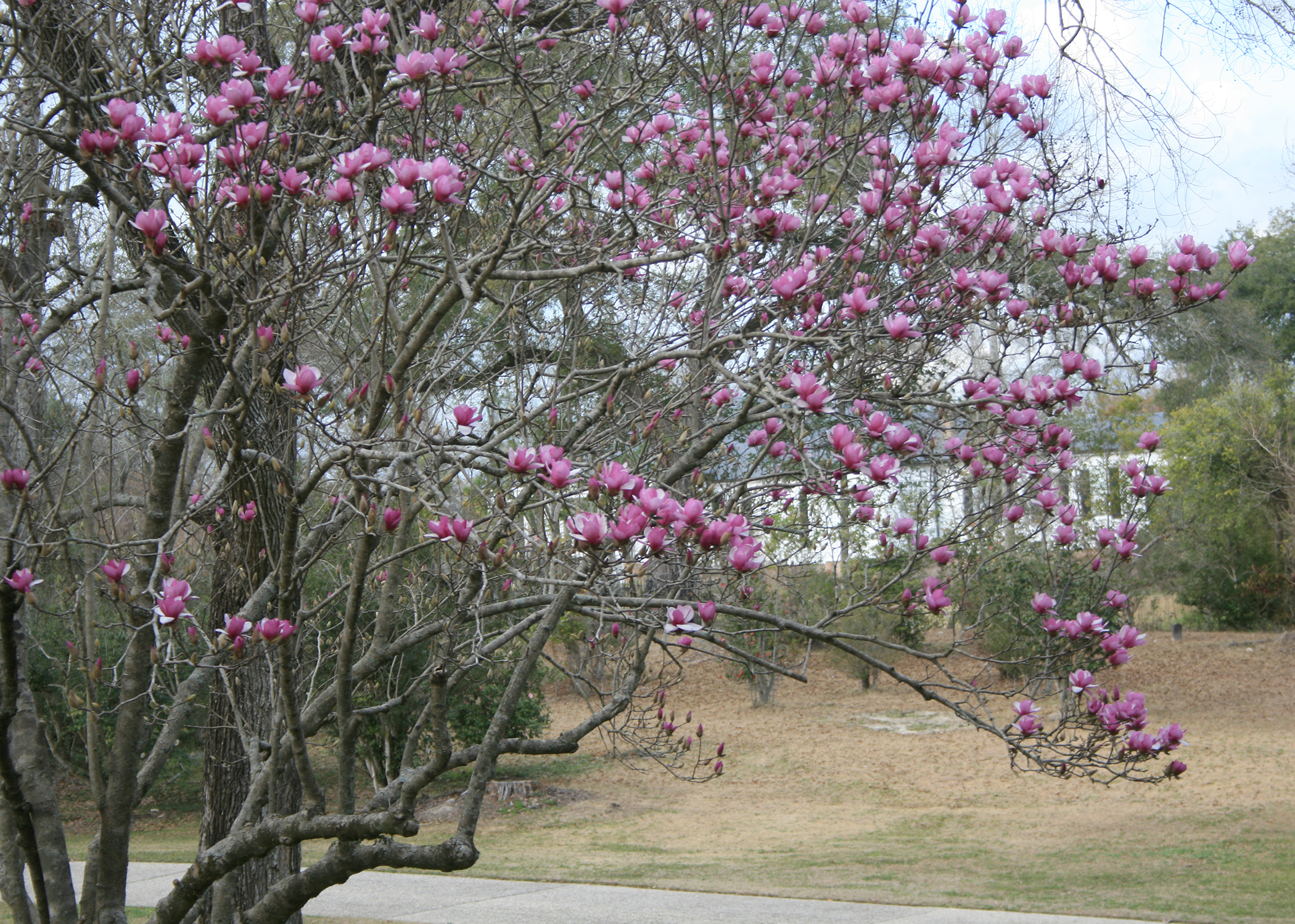 Enjoy Early Blooms Of Saucer Magnolias Mississippi State