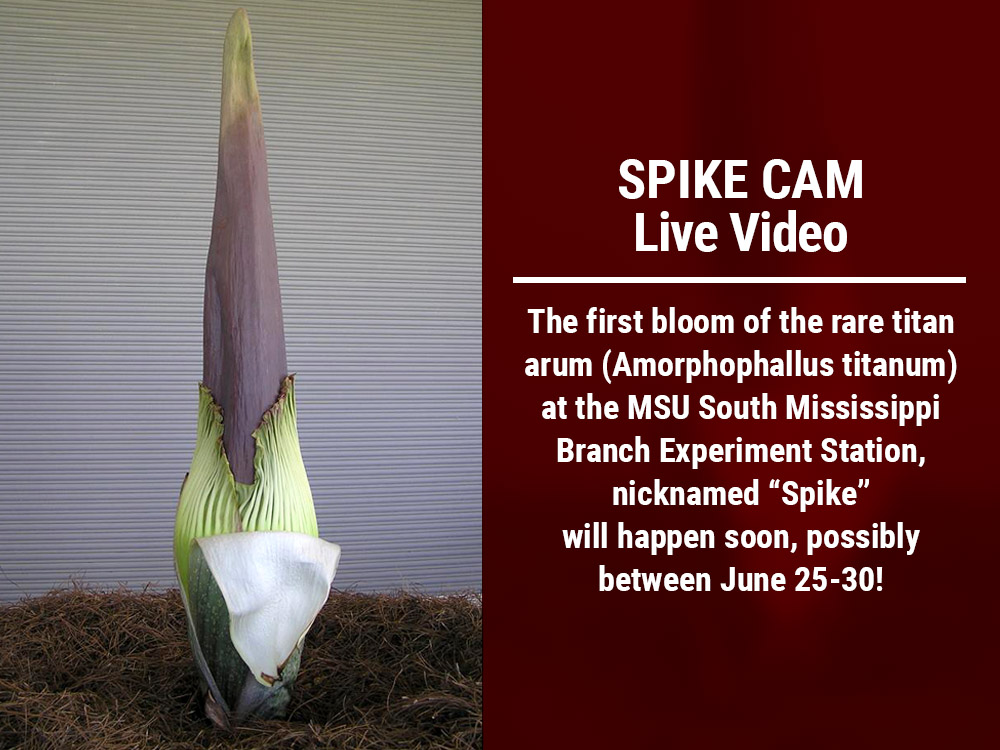 "The first bloom of the rare titan arum (Amorphophallus titanum) at the MSU South Mississippi Branch Experiment Station, nicknamed ""Spike""  will happen soon, possibly between June 25-30!"