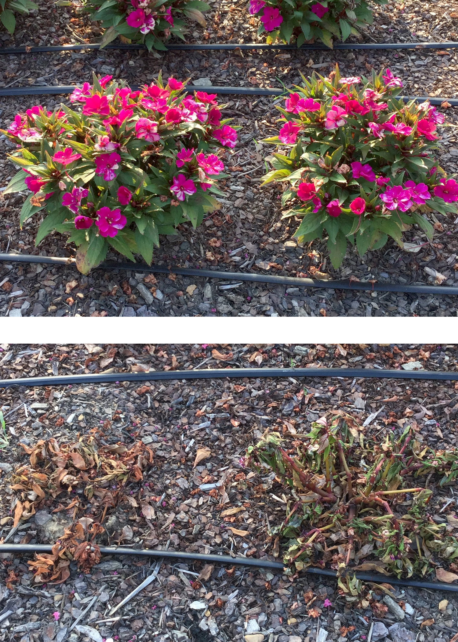On July 24, 2015, these SunPatiens, top, were thriving at the Mississippi State University Truck Crops Branch Experiment Station in Crystal Springs, Mississippi. They were dead when photographed, bottom, Aug. 7, 2015. The flowers were killed by the Macrophomina phaseolina pathogen, which had never before been seen in impatiens (Photo by MSU Extension Service/Clay Cheroni)