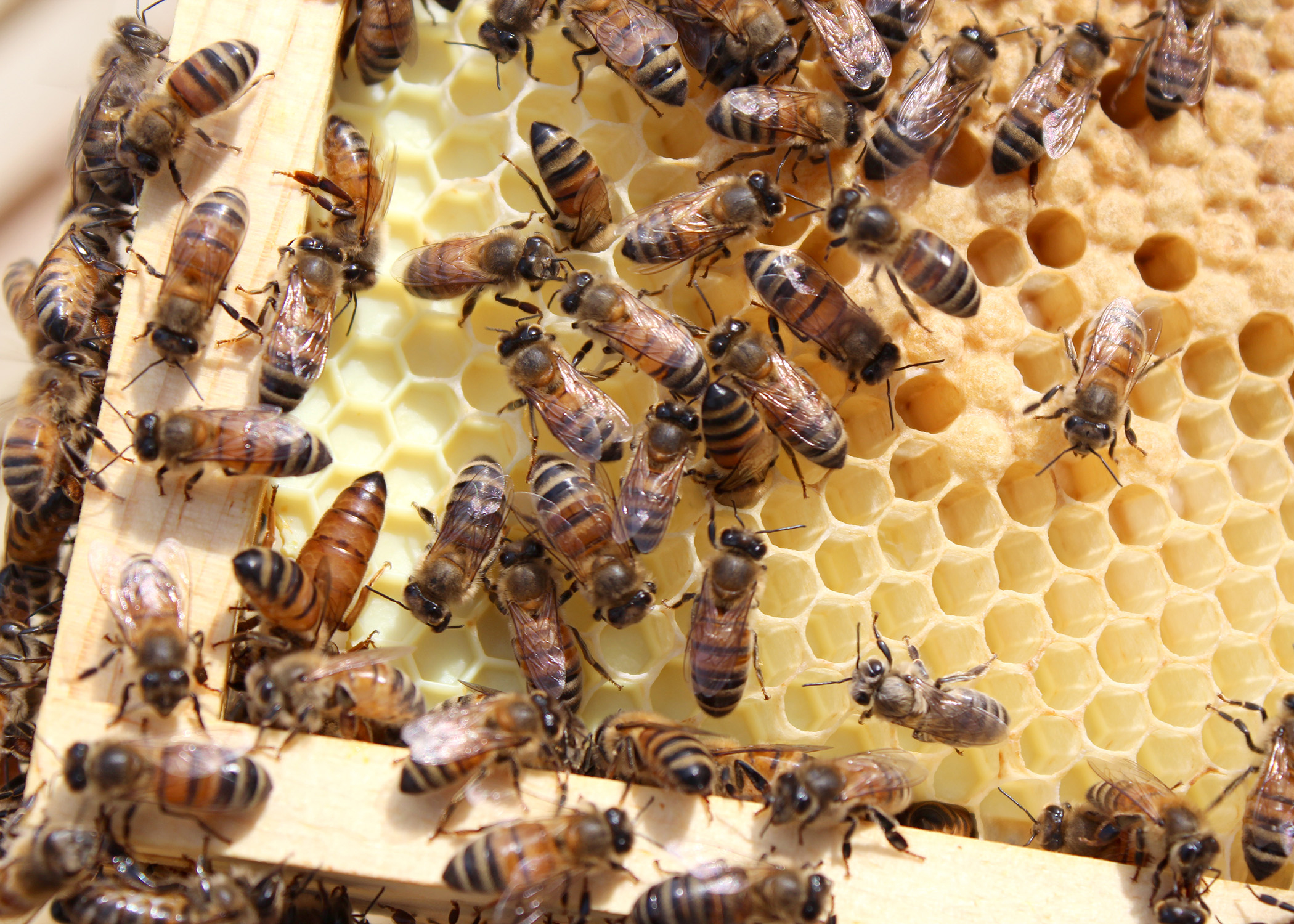 busy as a bee a look inside a honey bee hive mississippi state