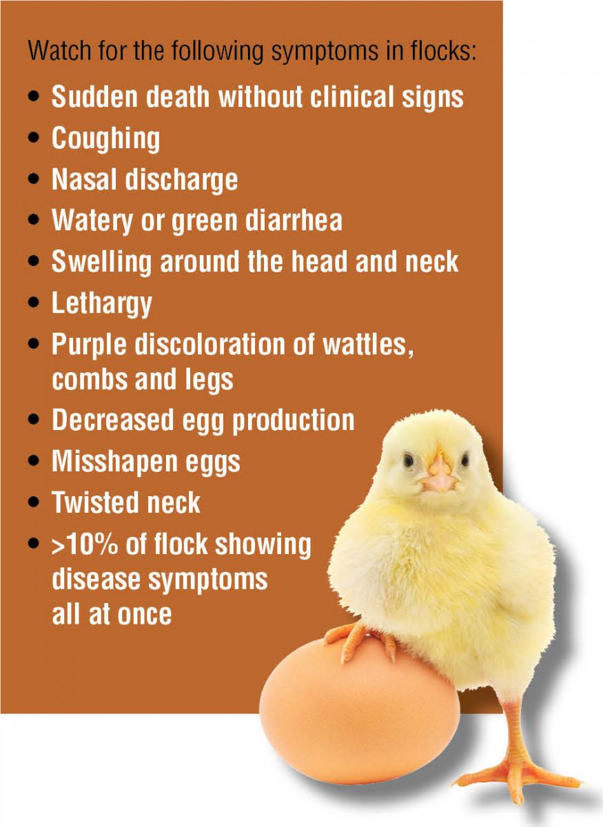A graphic showing Avian Flu symptoms