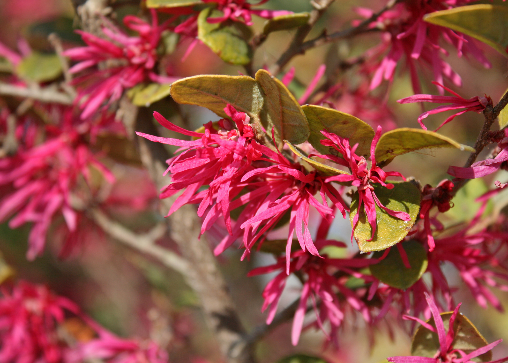 Use loropetalum for early spring blooms
