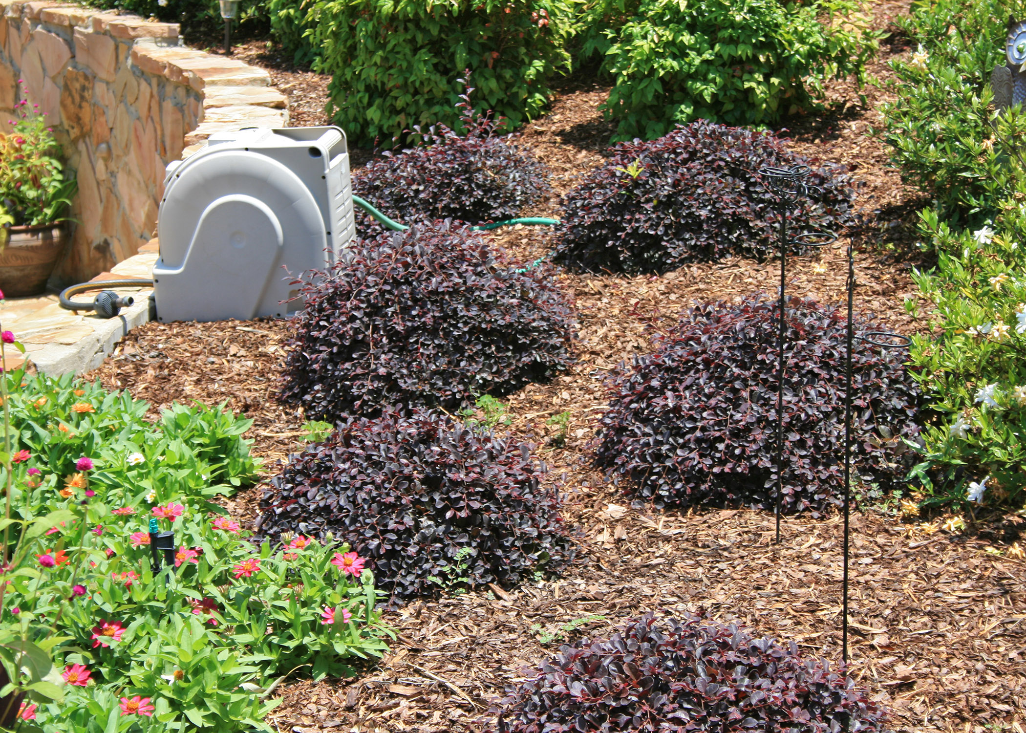 Use loropetalum for early spring blooms | Mississippi State ...