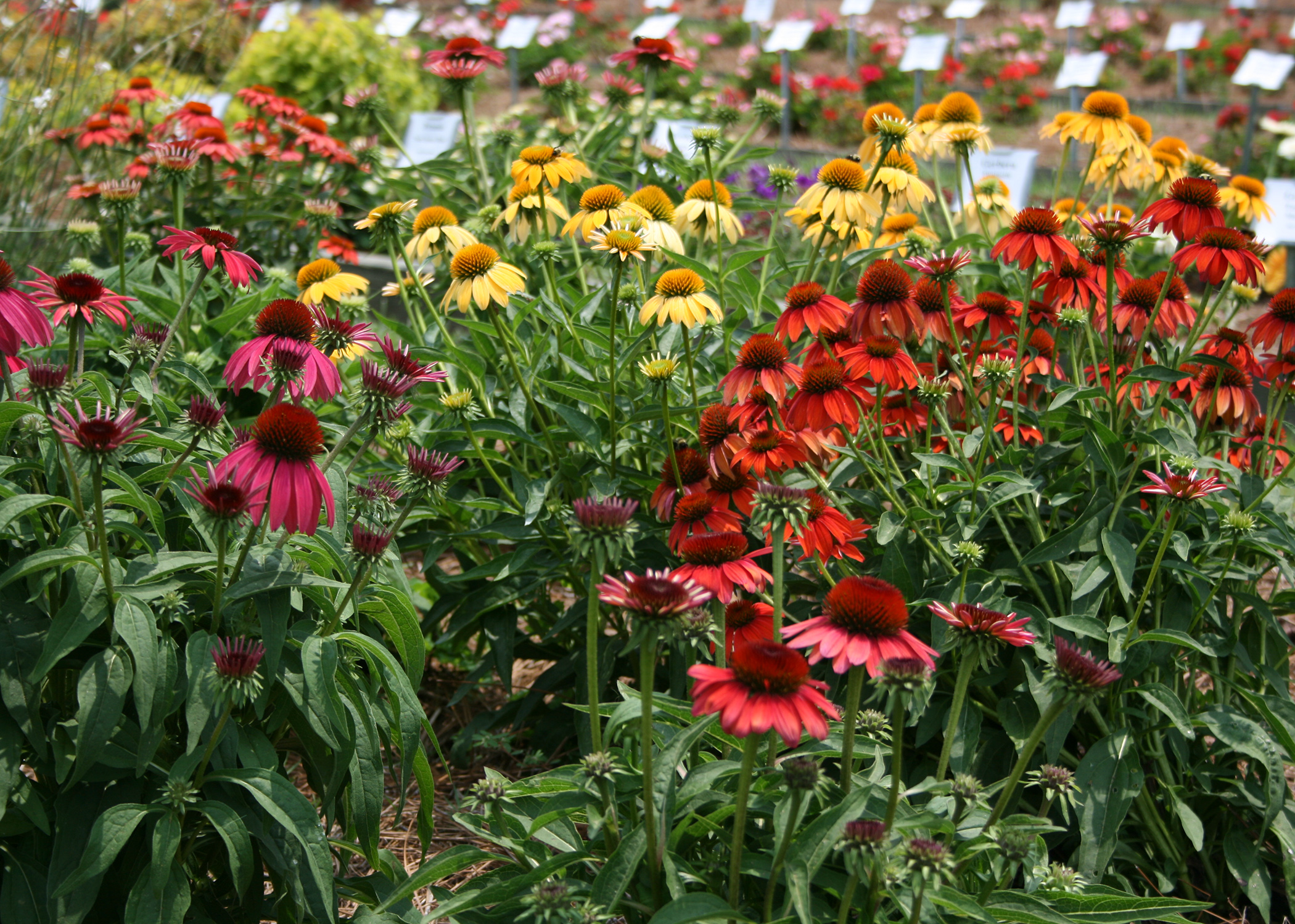 Plan To Include Purple Coneflowers In Gardens Mississippi State