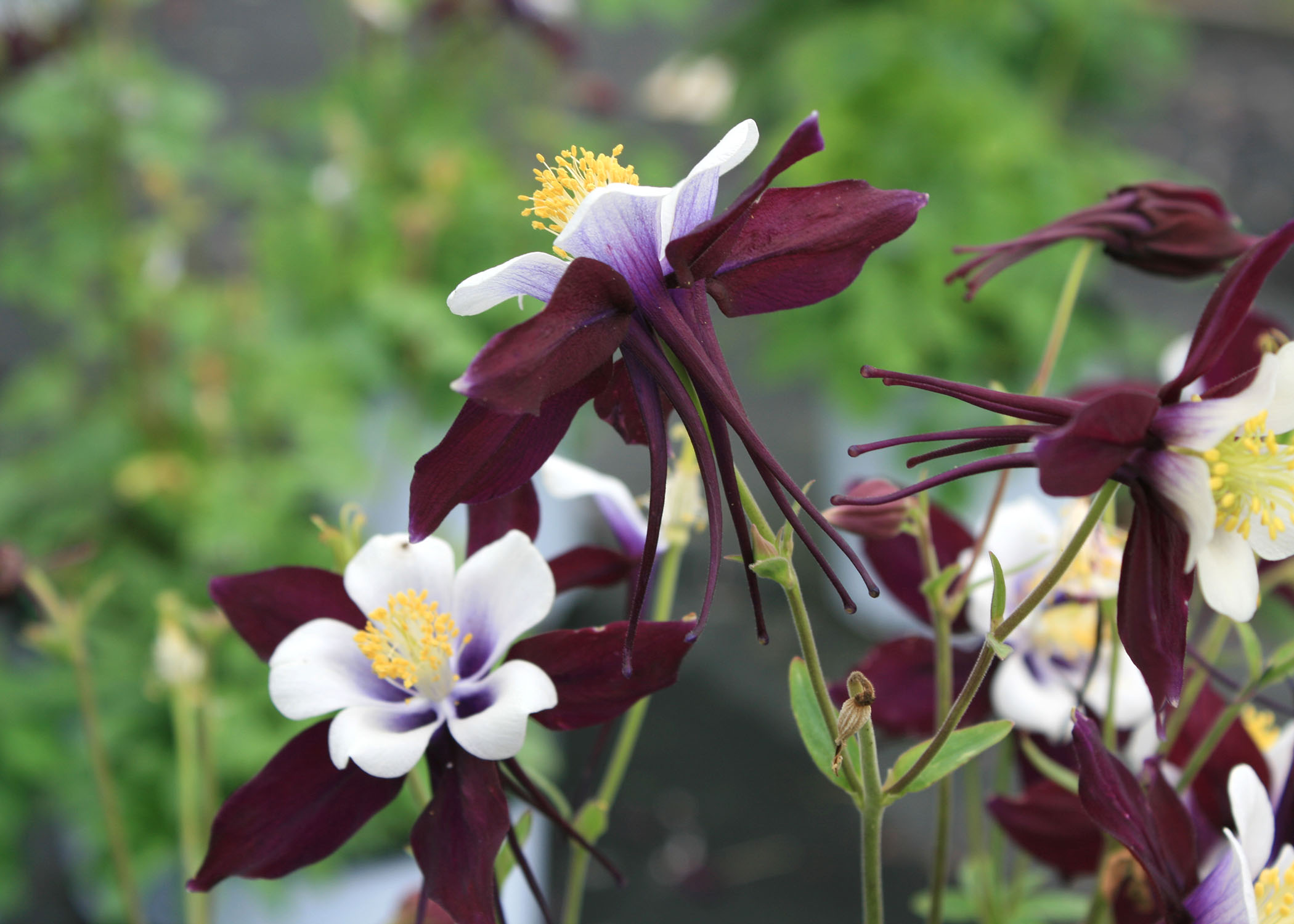 Try columbine as an annual in ms gardens mississippi state columbines such as this aquilegia swan violet and white look fragile but are tolerant izmirmasajfo