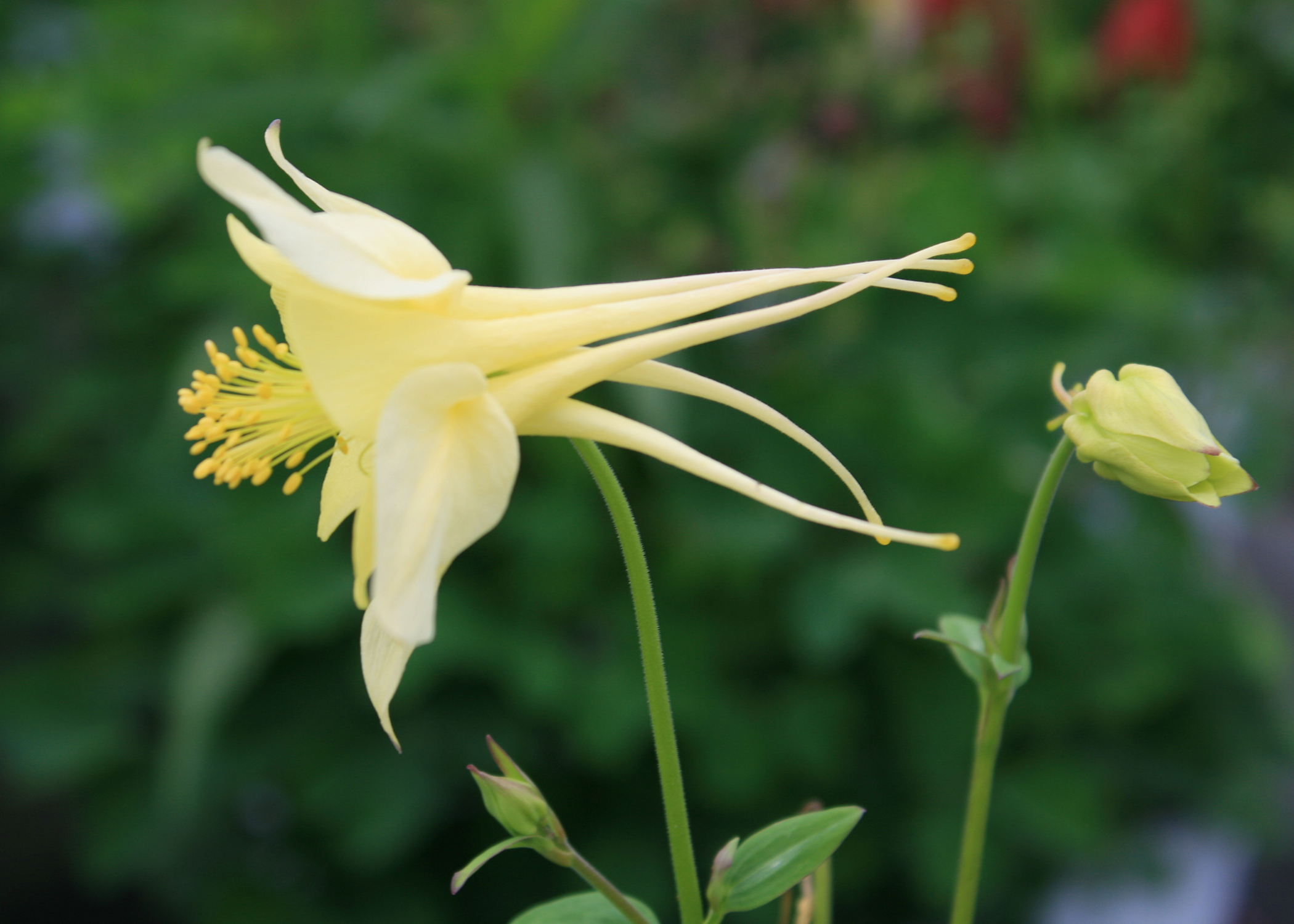 Try columbine as an annual in ms gardens mississippi state a notable feature of the columbine flower such as this aquilegia swan yellow is izmirmasajfo