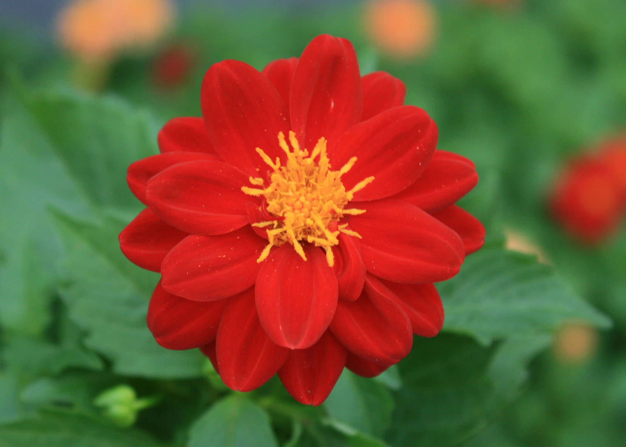 Try underused dahlias in summer landscapes mississippi state university extension service for Olive garden blue springs missouri