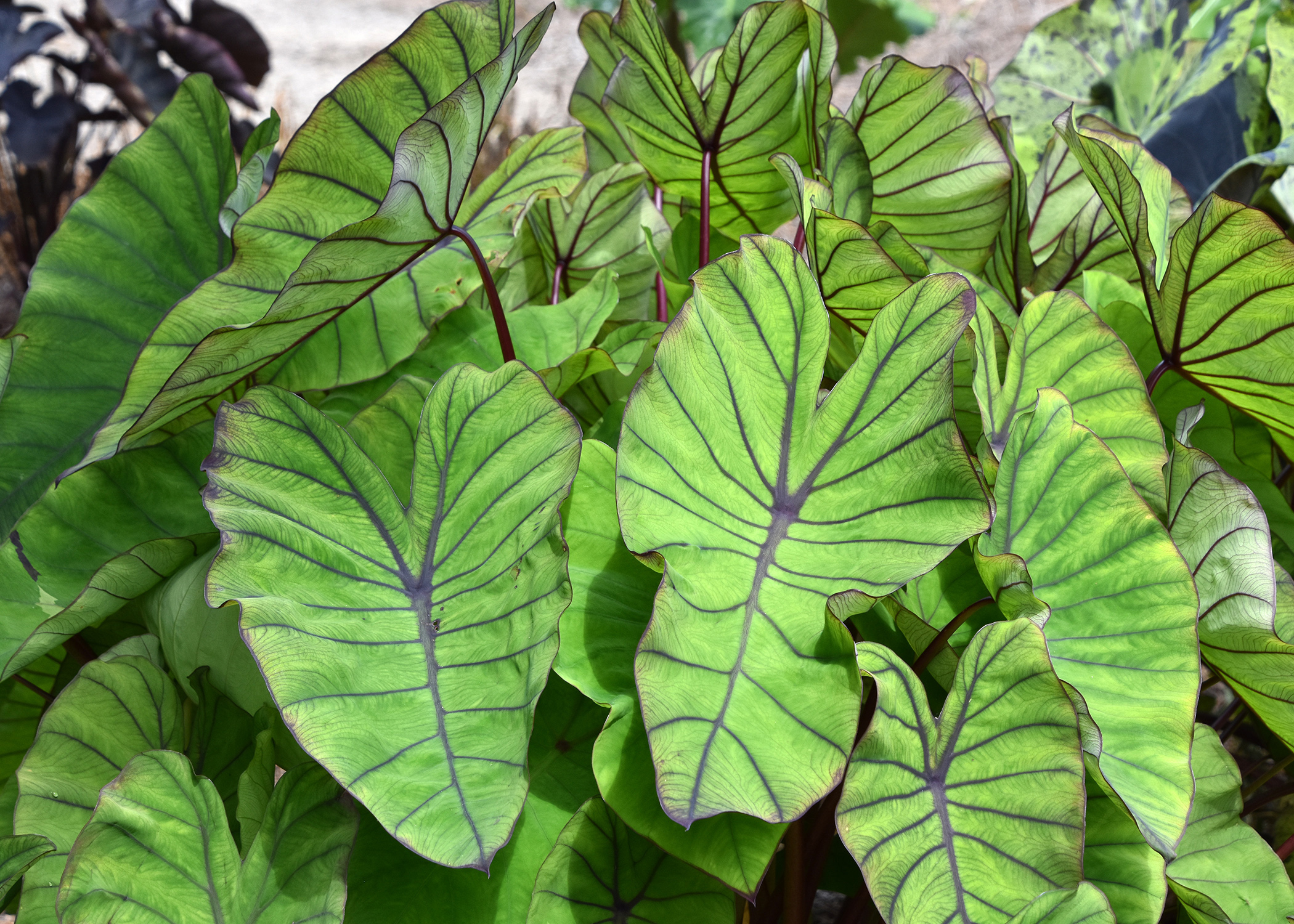 Elephant ears create a tropical paradise mississippi for Green plants for garden