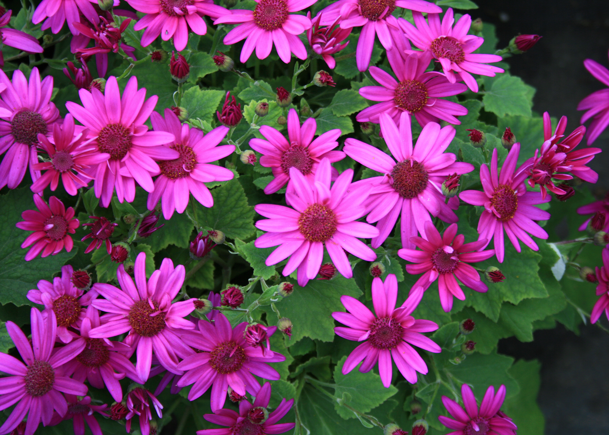 Pericallis bring early color to containers mississippi state use senetti pericallis such as this magenta selection like mums in the fall they look izmirmasajfo