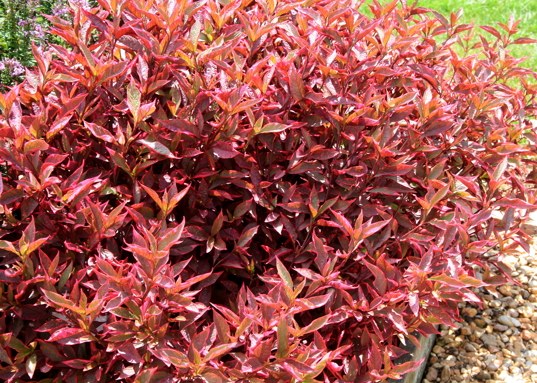 Although the plants can tolerate shady conditions, the brilliant colors of Alternanthera, such as this Brazilian Red Hot, intensify as temperatures increase. (Photo by MSU Extension/Gary Bachman)