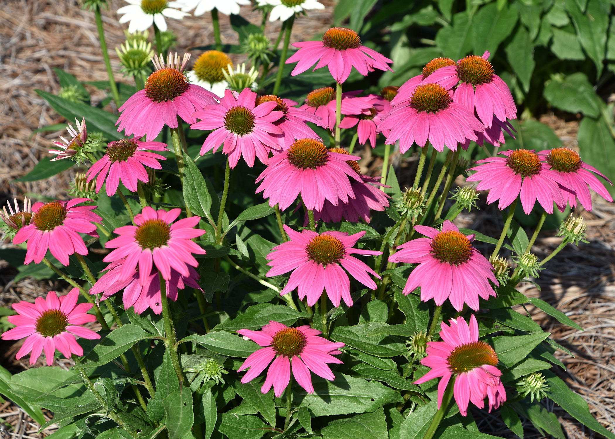 Coneflowers Are Ideal For Busy Gardeners Mississippi State