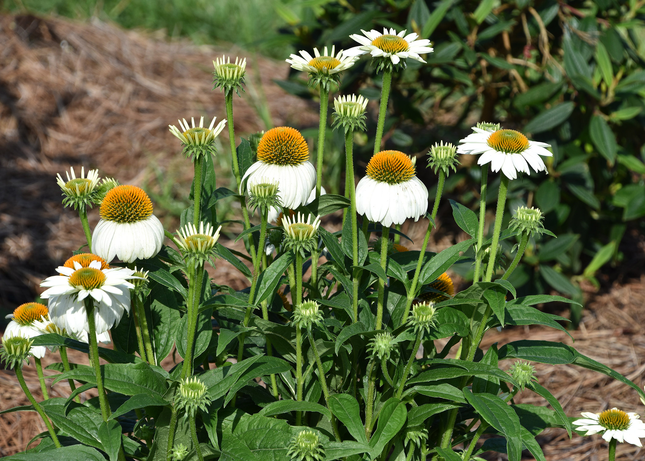 White Swan derives from an Echinacea Bravado seedling that produced white flowers. It is often paired with Bravado as a landscape combination. (Photo by Gary Bachman/MSU Extension Service)