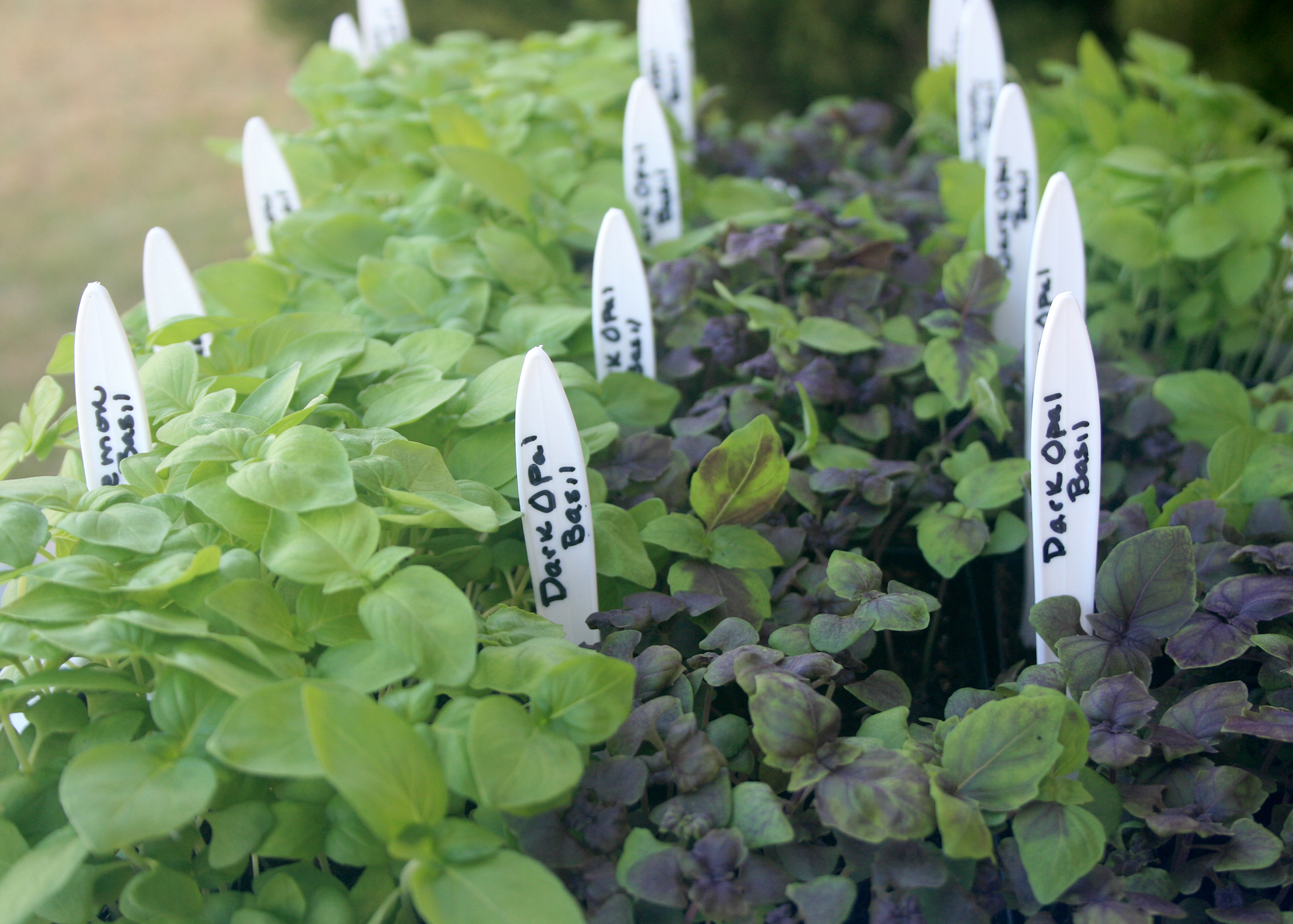 Basil is delicious for summer meals and easy to grow. Its variety of shapes and sizes makes the plant an excellent addition to the perennial garden, shrub border or container garden. (Photo by Gary Bachman/MSU Extension Service)
