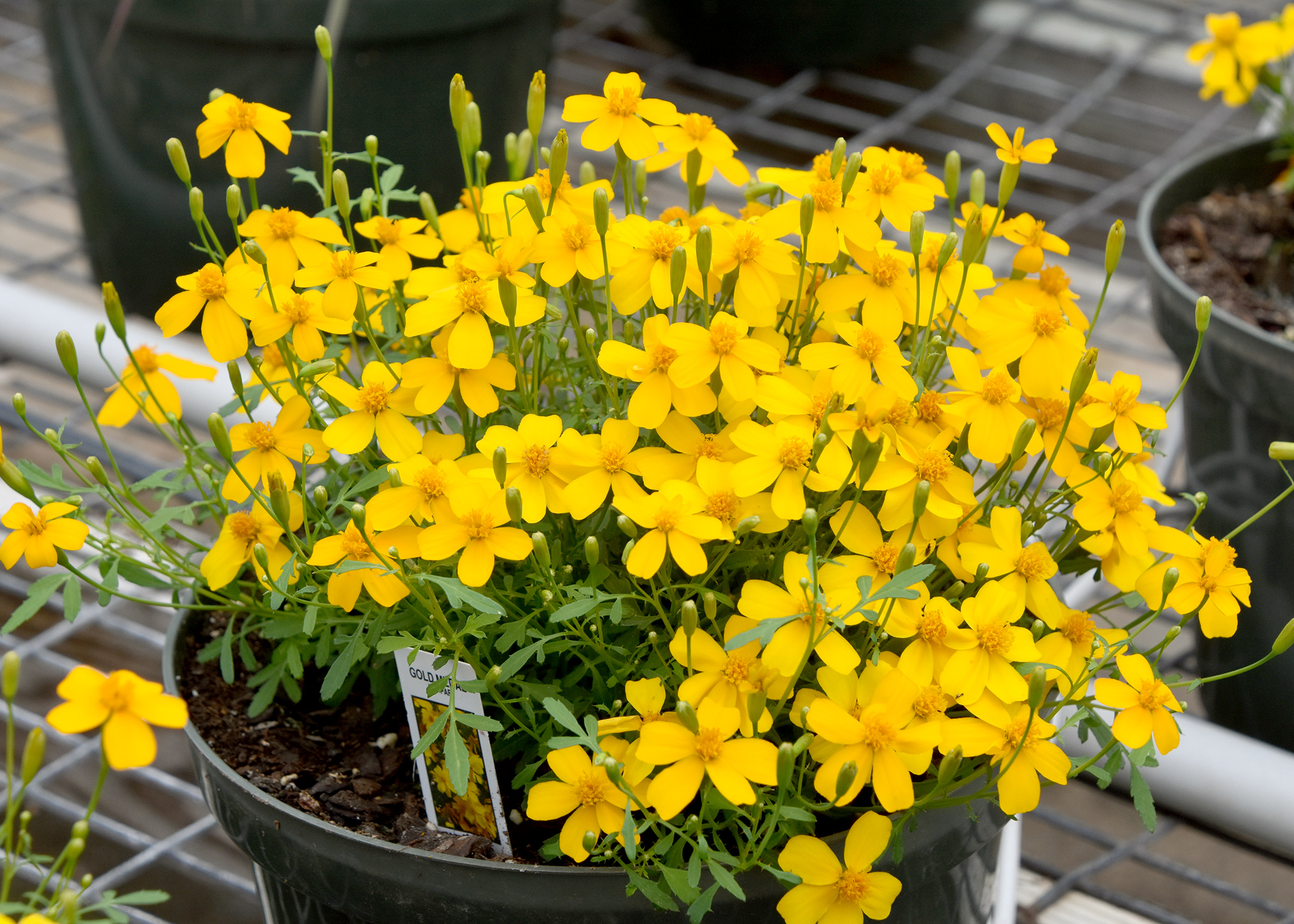 The Mexican mint marigold, also called Mexican tarragon, is part of the widely diverse family of marigolds. (Photo by MSU Extension/Gary Bachman)