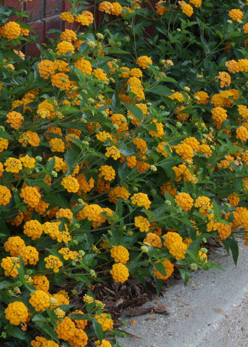 Oldies but goodies now called golden medallions mississippi state the mexican mint marigold also called mexican tarragon is part of the widely diverse mightylinksfo