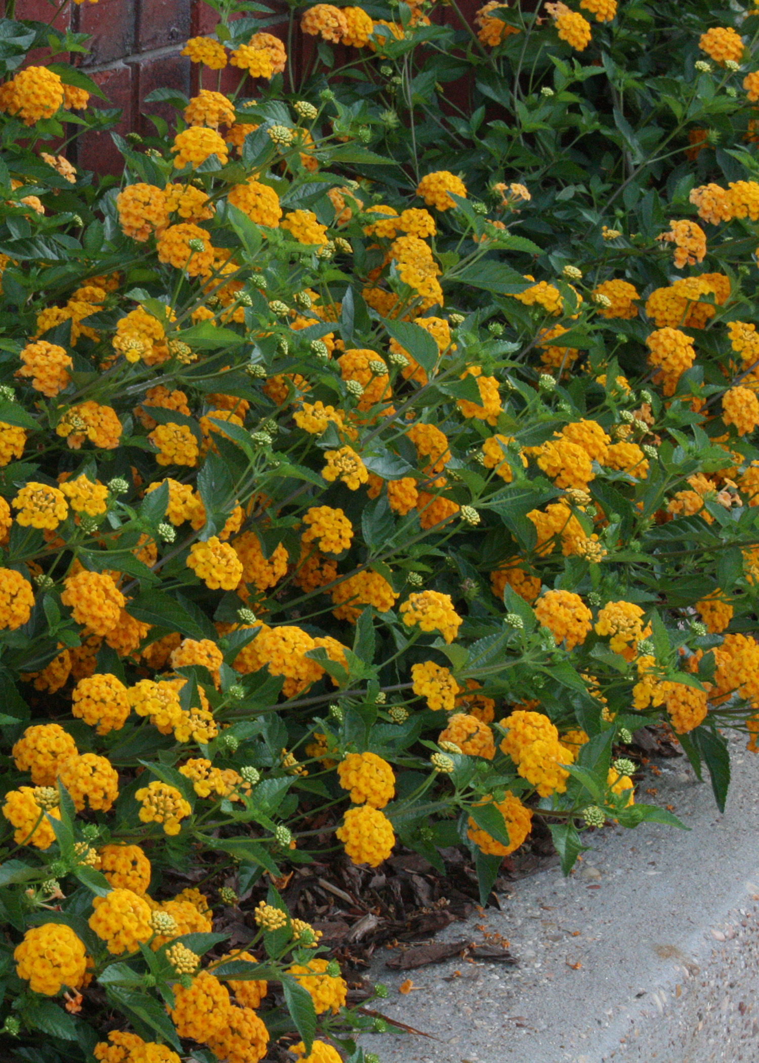 Oldies But Goodies Now Called Golden Medallions Mississippi State