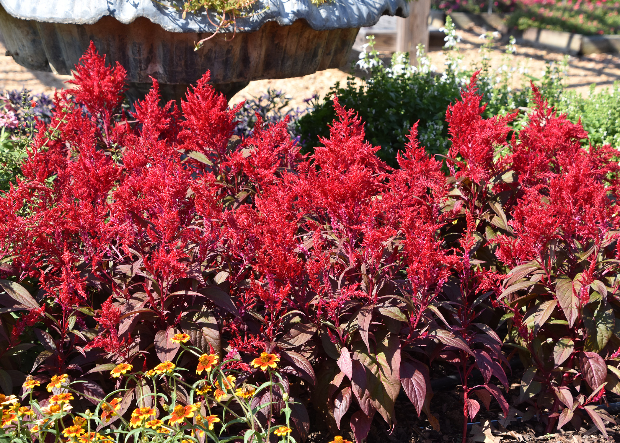 Celosias perform well as summer annuals mississippi state dragons breath celosias grow equally well in the landscape bed or in a patio container izmirmasajfo