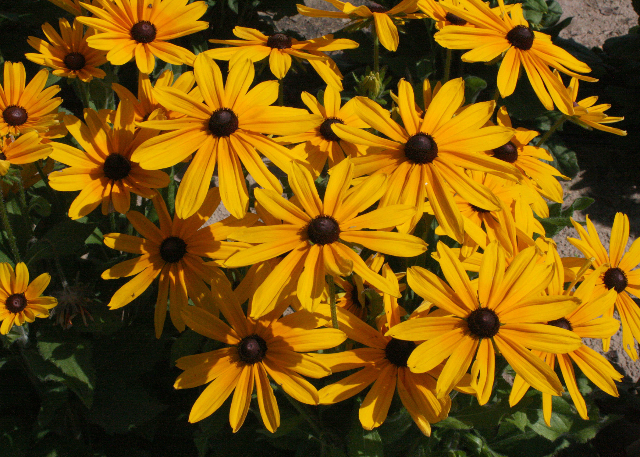 Rudbeckia Indian Summer is a real showoff in the landscape. The upright stems display flowers up to a whopping 9 inches across. (Photo by MSU Extension/Gary Bachman)