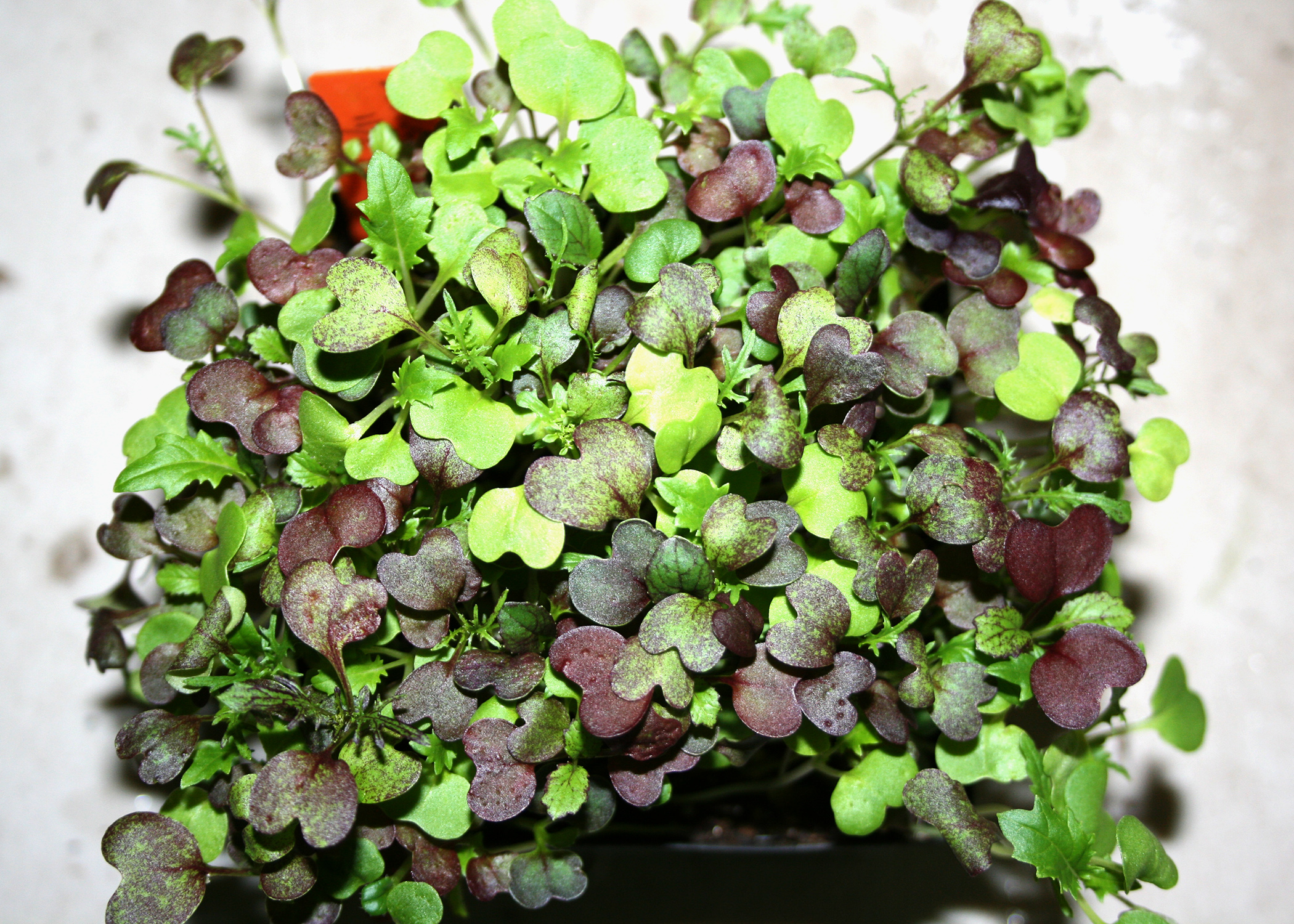 Microgreens Are Nutritious Grow Quickly Indoors