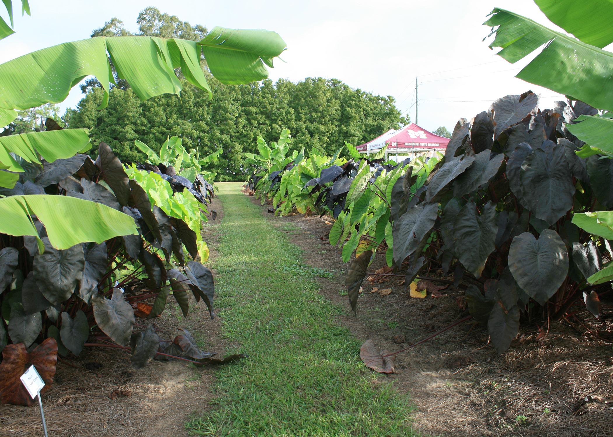 This garden full of elephant ears is growing in a plant trial in Biloxi at the Mississippi State University Coastal Research and Extension Center. Foliage colors range from greens to black. (Photo by MSU Extension/Gary Bachman)