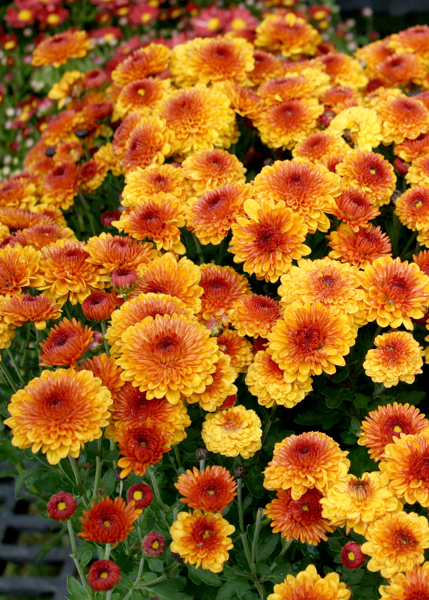 Shop now for colorful fall blooming mums mississippi state fall mums are a useful bridge crop between summer and fall they can be treated izmirmasajfo Image collections