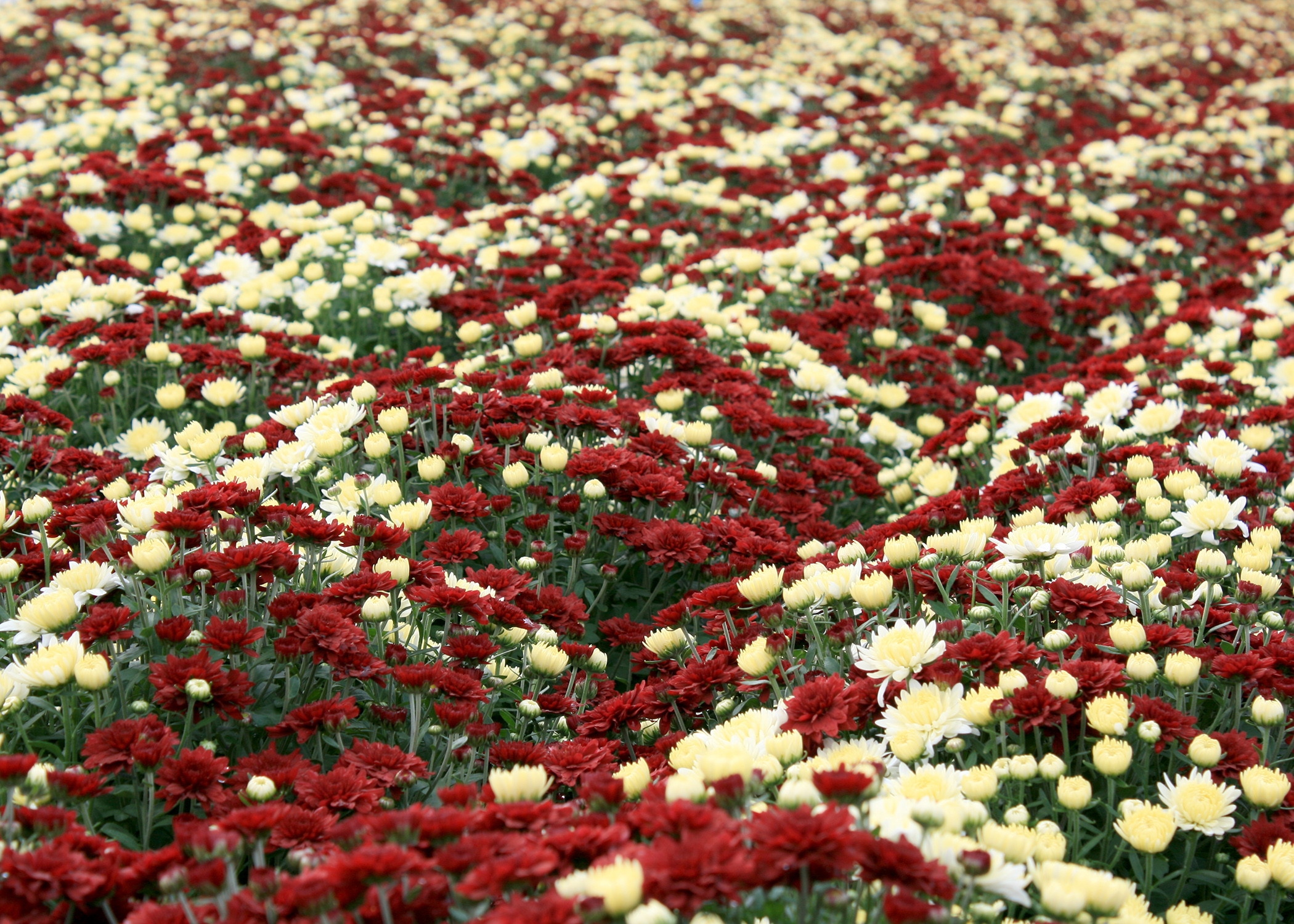 Fall mums in full flower have an instant impact for any autumn event. Their many warm colors can complement almost any home color scheme. (Photo by MSU Extension/Gary Bachman)