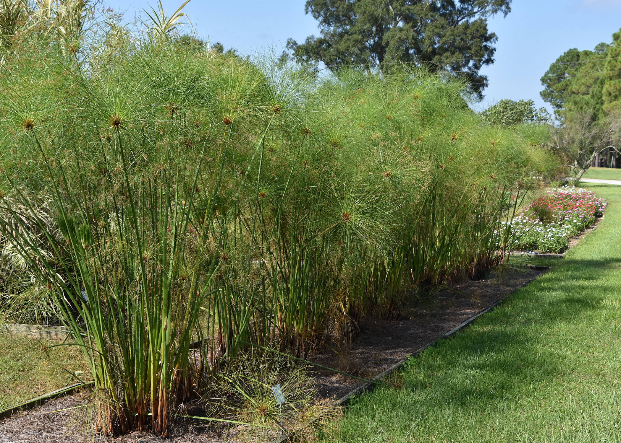 Ancient papyrus performs in mississippi gardens for Plants for outdoor garden