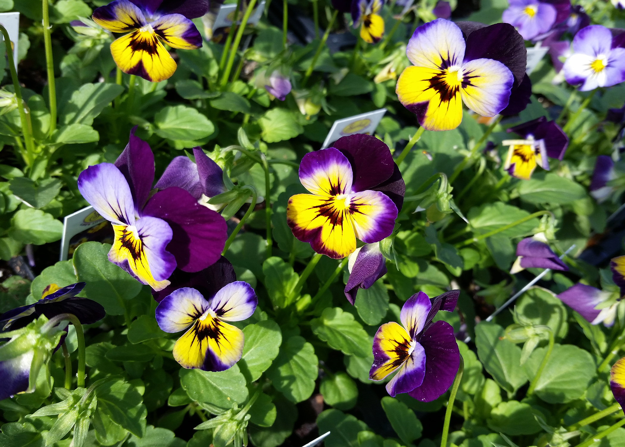 Plant Violas In The Fall For Winter Long Color Mississippi State