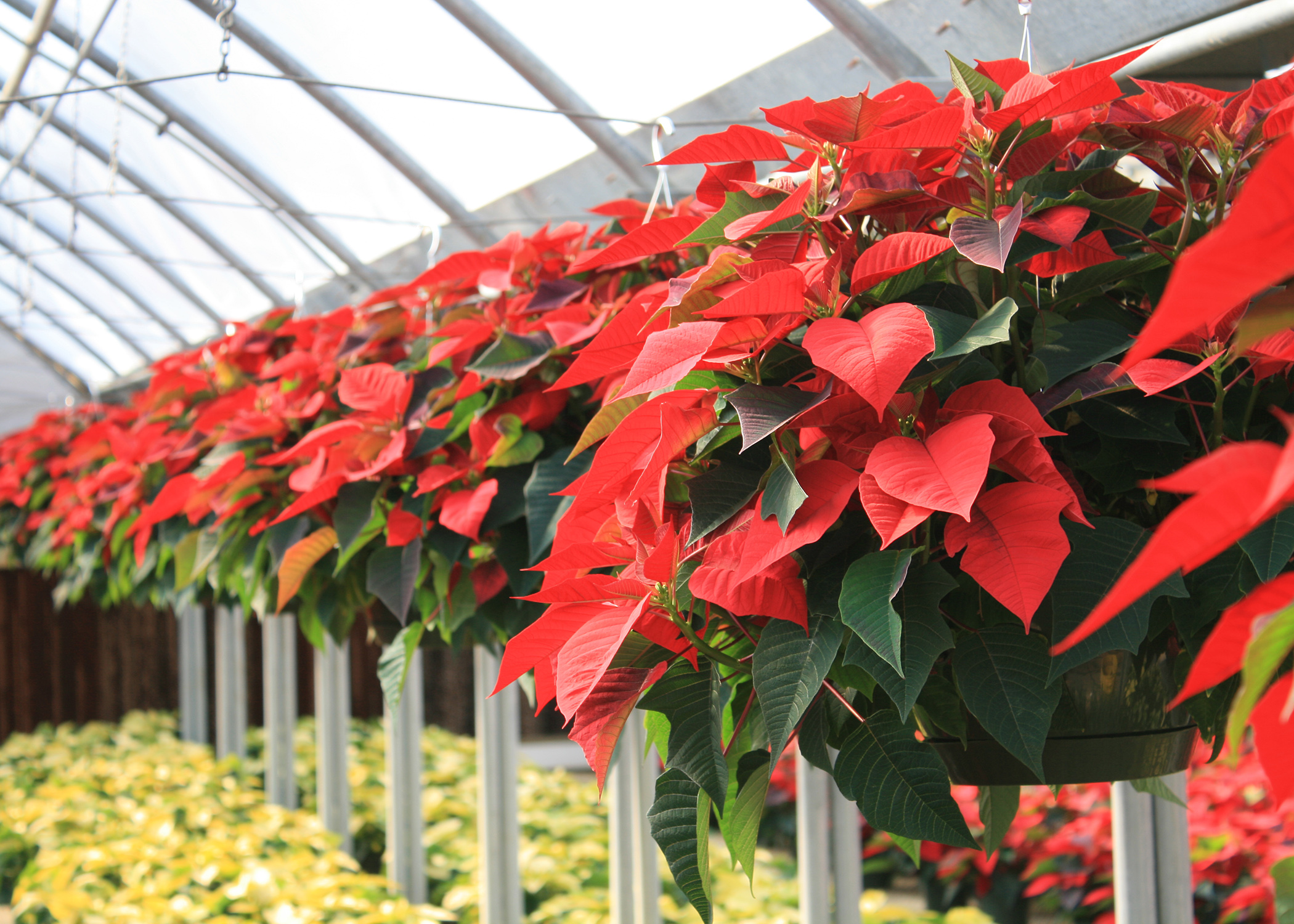 The appearance of poinsettias means we are in the full swing of the Christmas season. (Photo by MSU Extension/Gary Bachman)