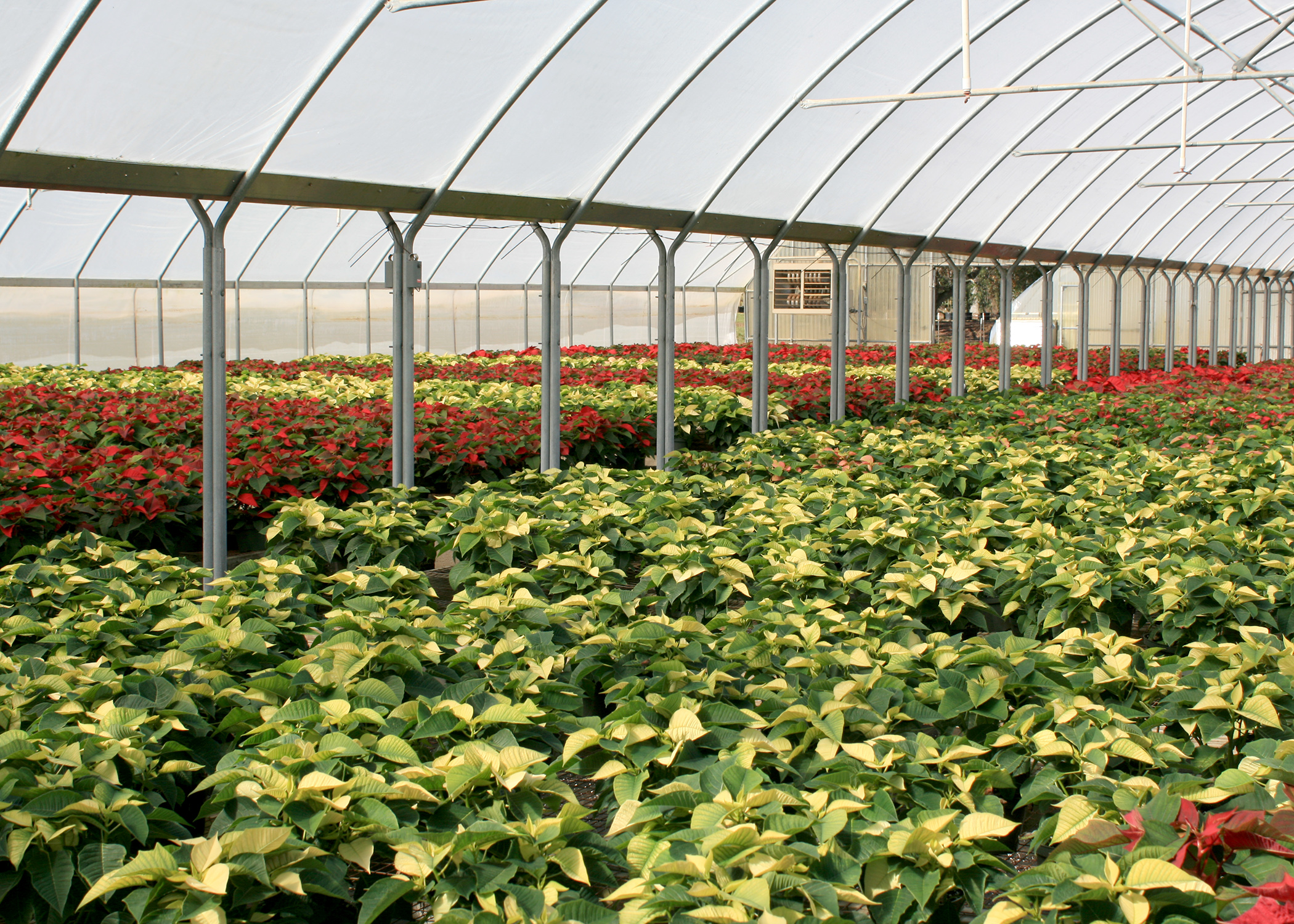 Poinsettias naturally change color in the short days of winter in their native Mexico, but greenhouses use shade cloth to block light and trick the plants into turning color in time for Christmas. (Photo by MSU Extension/Gary Bachman)