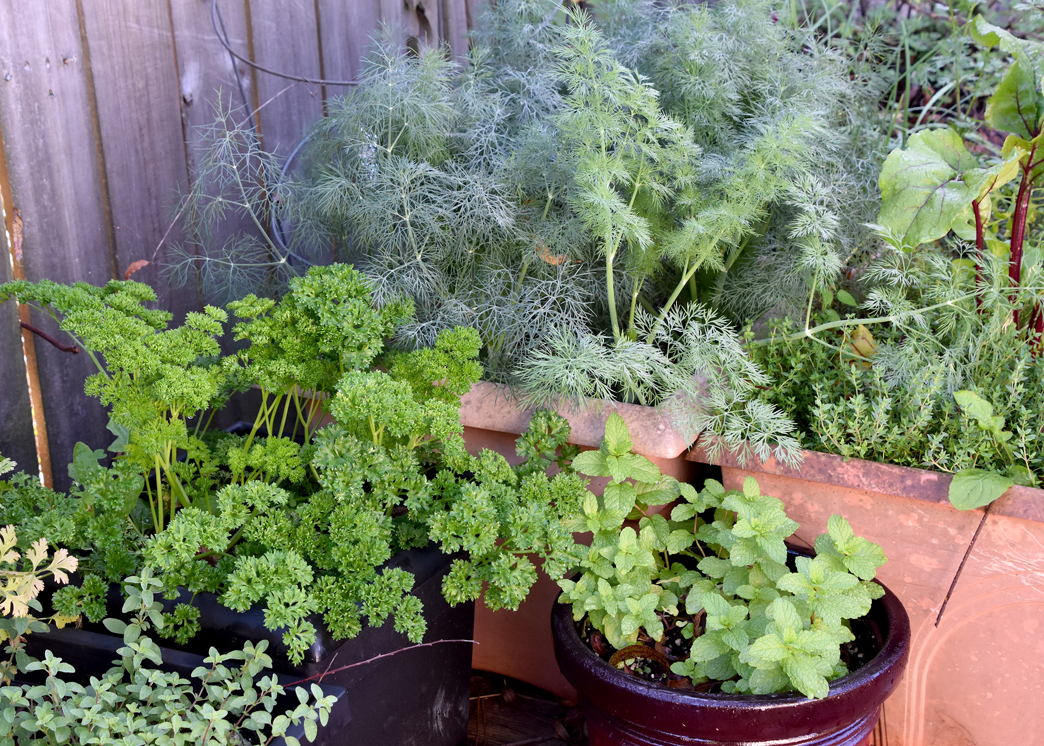 Bring container herb gardens near the house to add beauty to a patio and provide easy access to the kitchen. (Photo by MSU Extension/Gary Bachman)