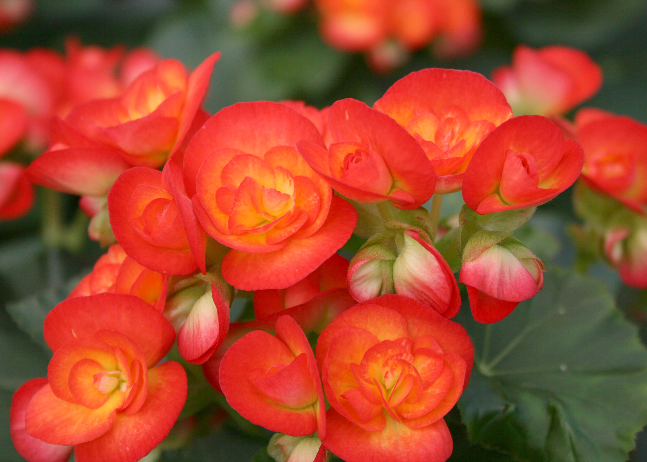 Having plants such as these Carneval begonias indoors during the winter adds beauty and a sense of charm and serenity. (Photo by MSU Extension/Gary Bachman)