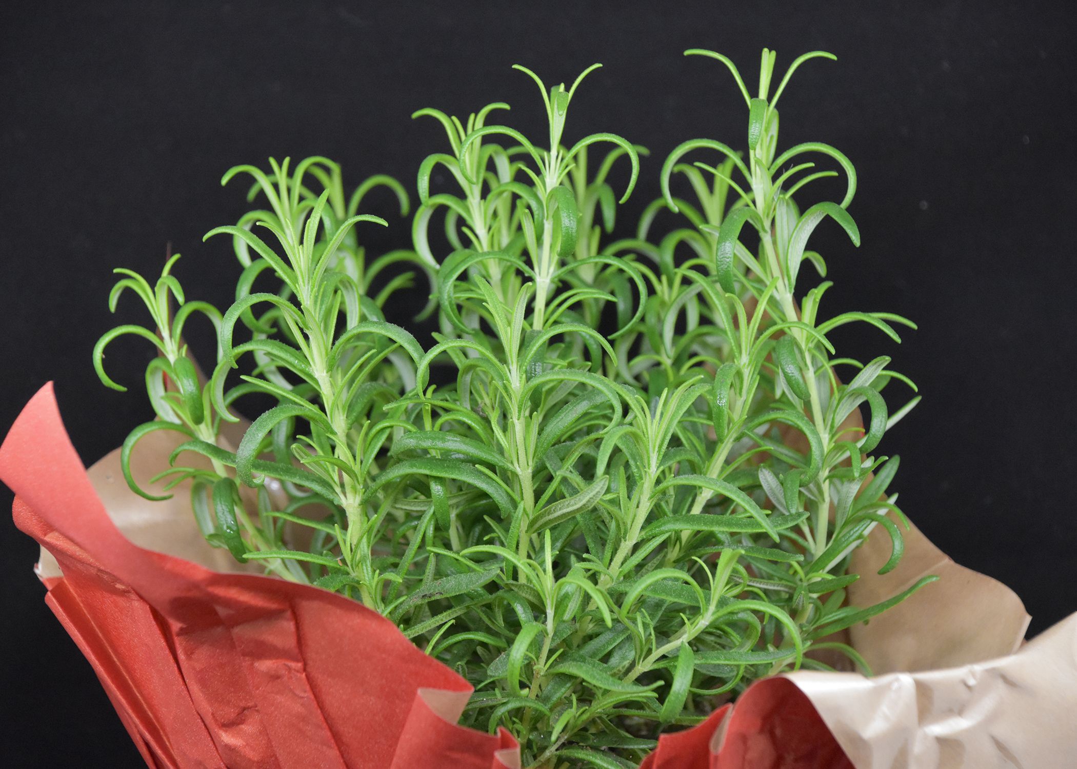 Tips help keep gift plants going | Mississippi State University ...