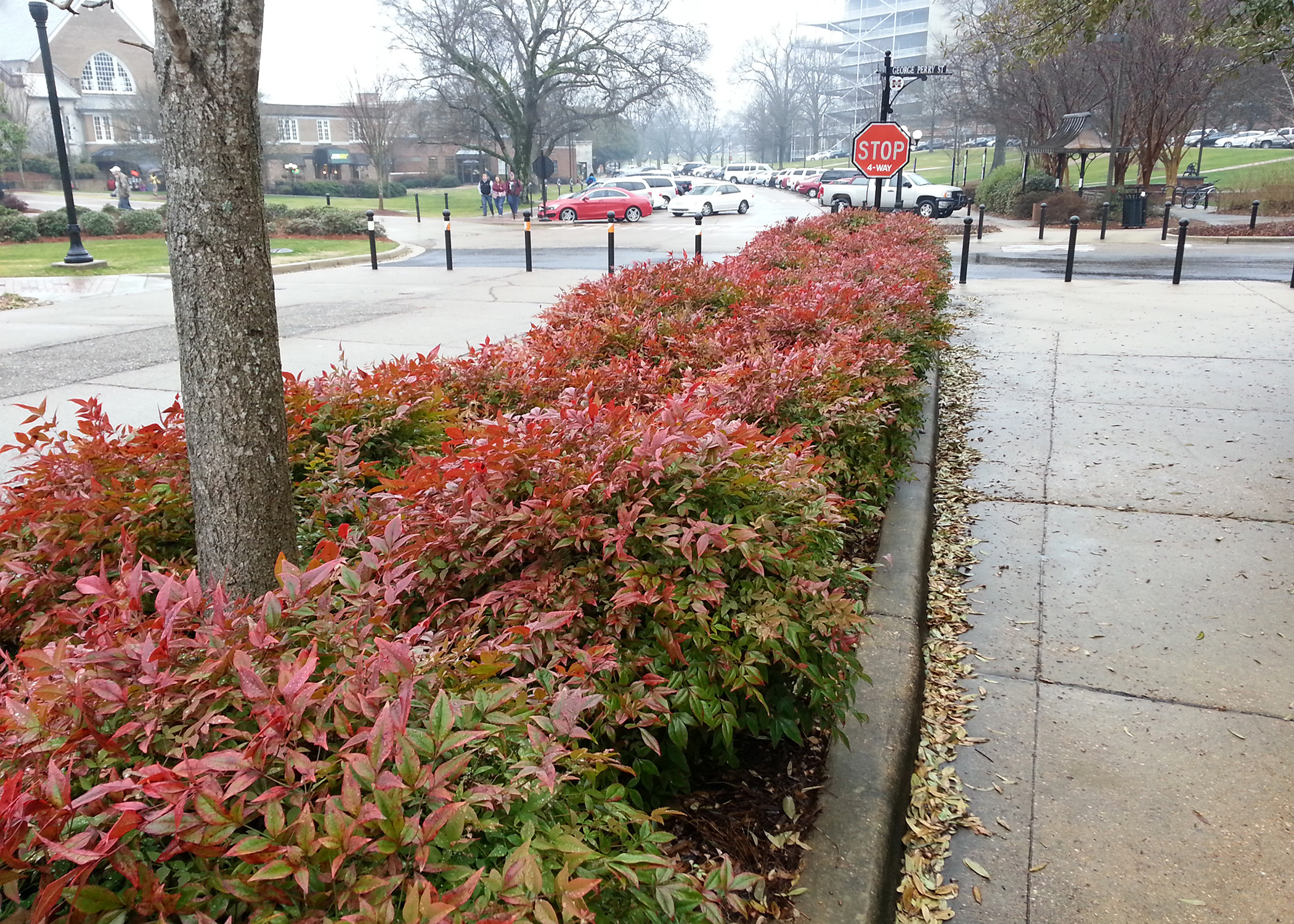 Nandina offers foliage color through winter mississippi state university extension service for Olive garden blue springs missouri