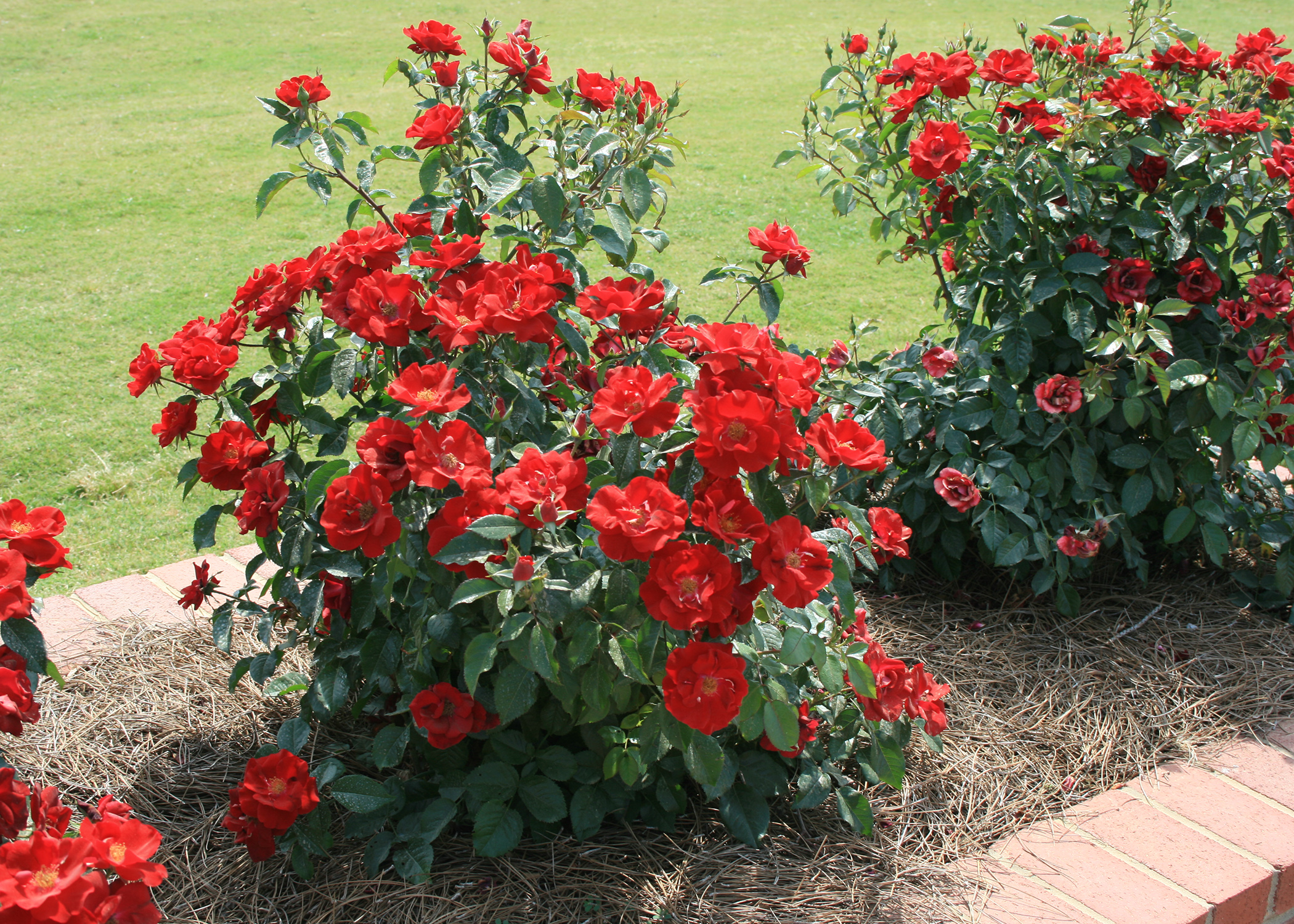 Roses Are A Beautiful Addition To Home Landscapes, And Certain Modern  Varieties Offer Reliable Performance