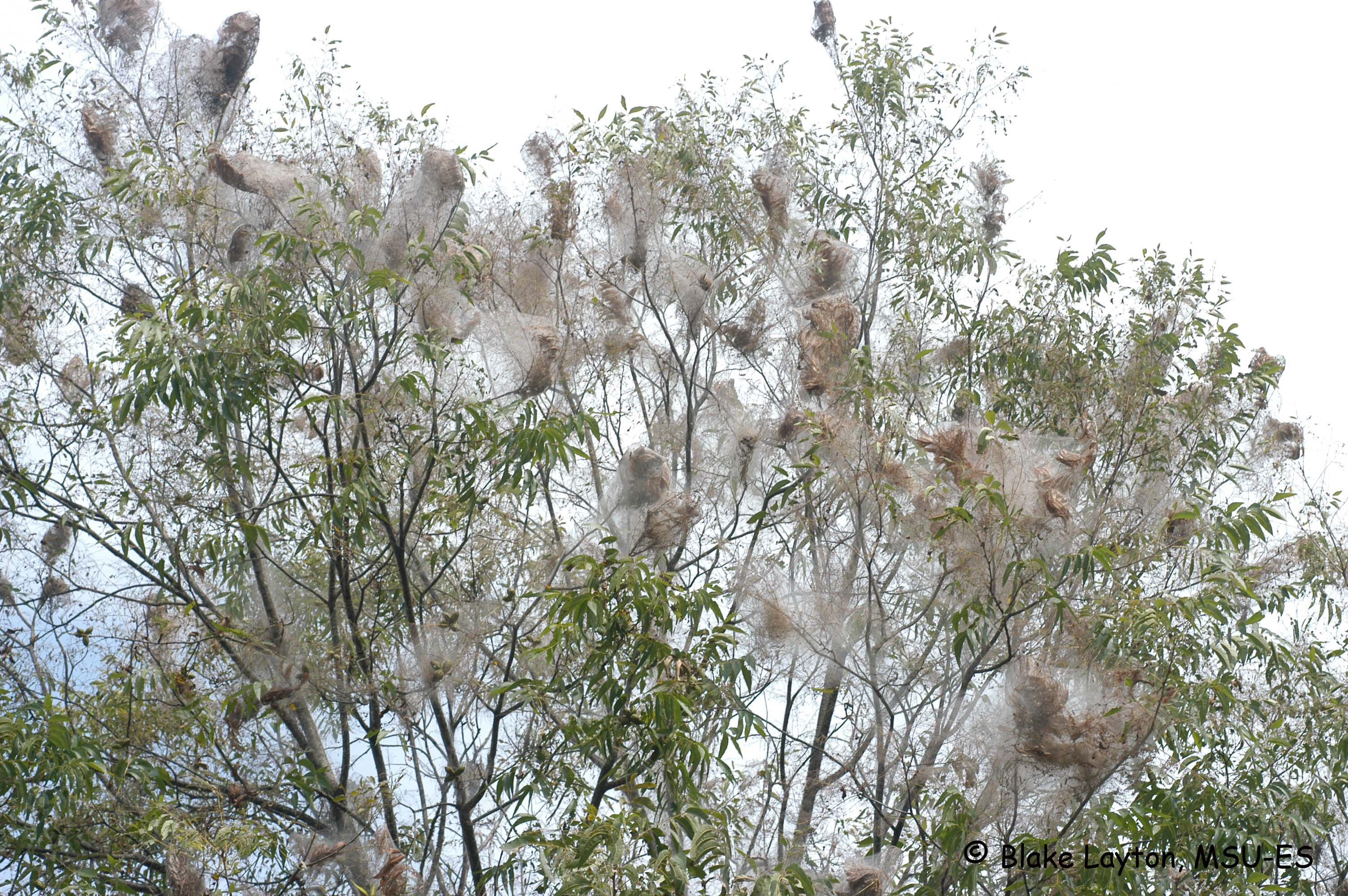 pecan tree with numerous fall webworm webs