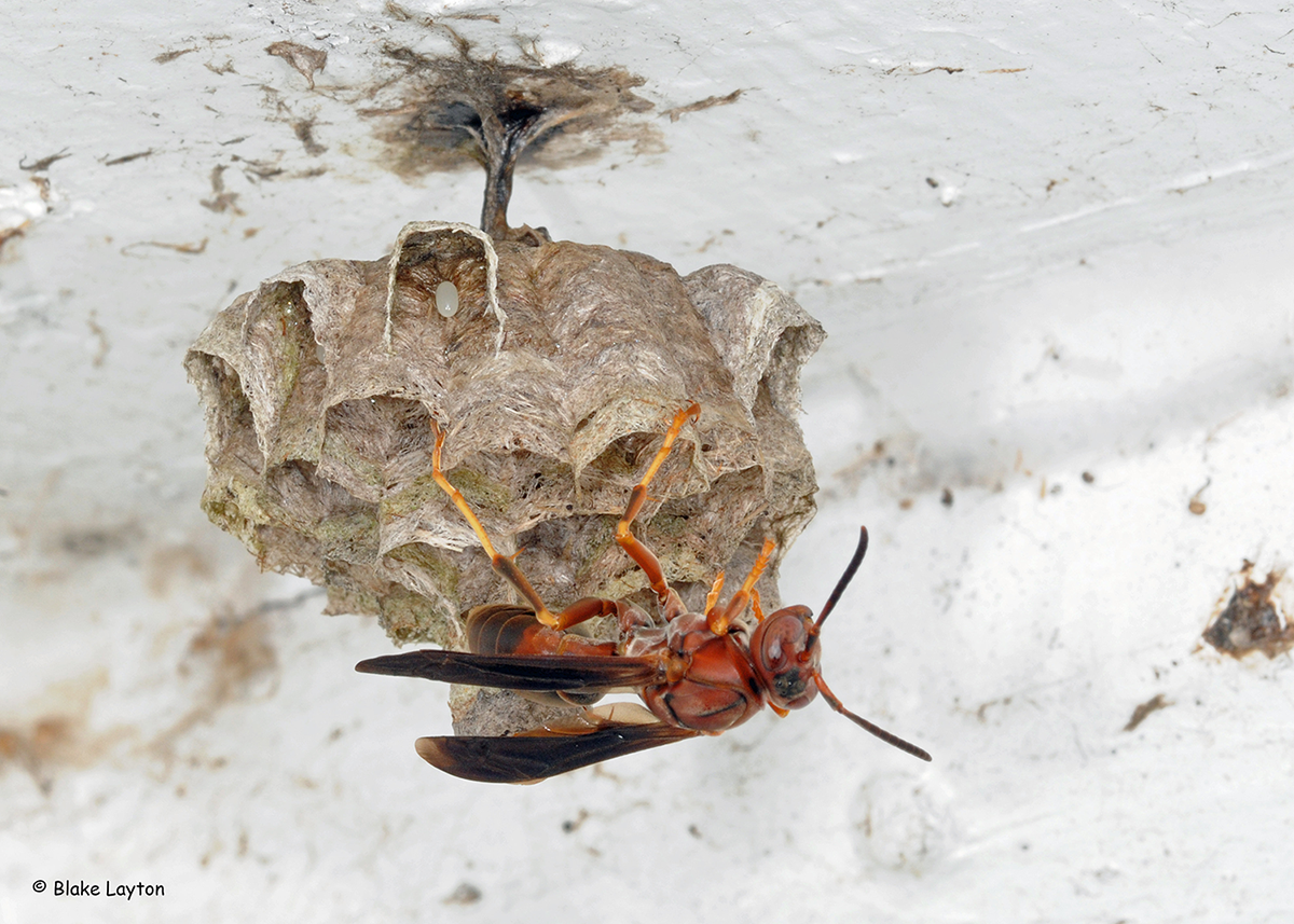 A wasp on a paper nest.