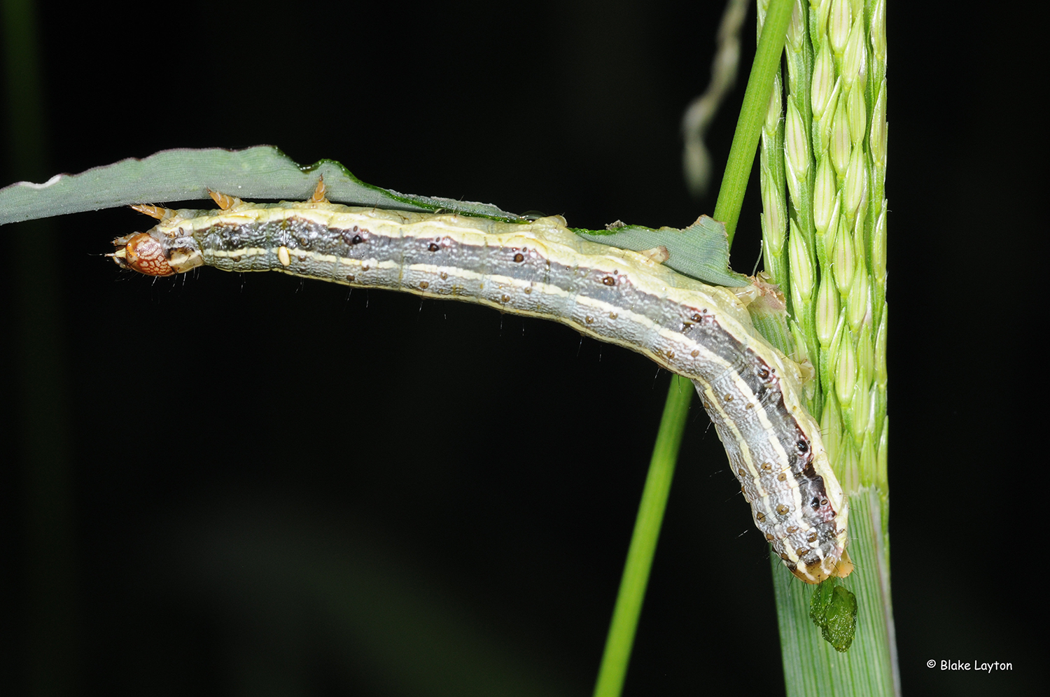 A fall armyworm on a green stalk.