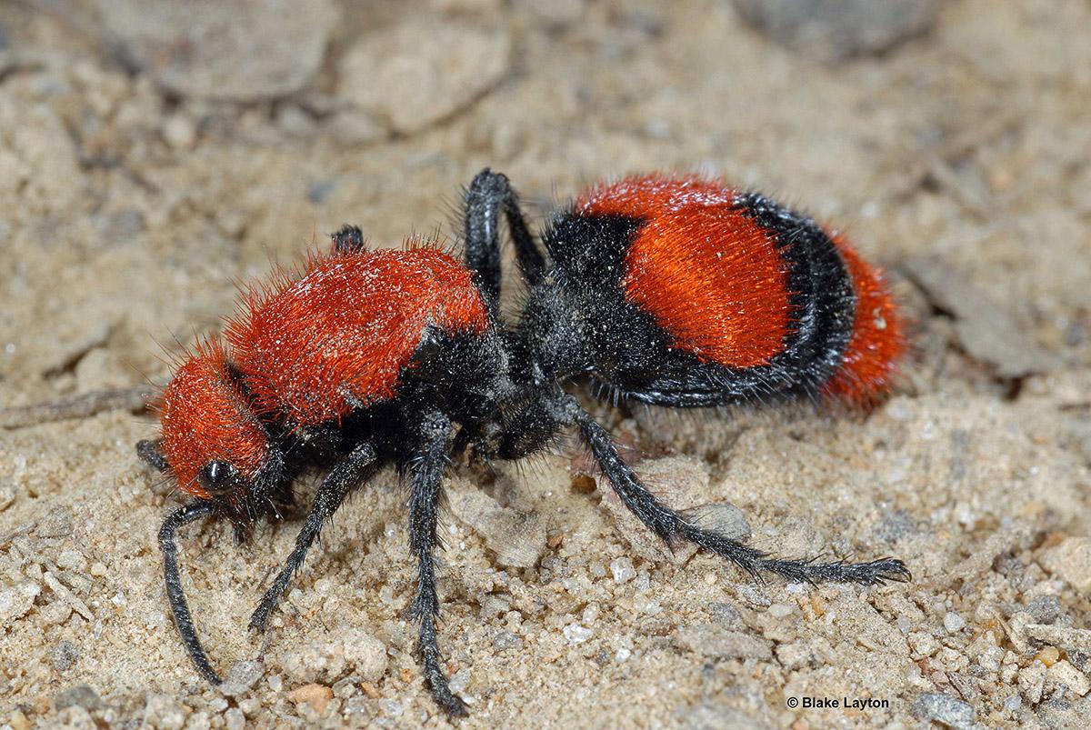 Eastern Velvet Ant Vol 5 No 22 Mississippi State University