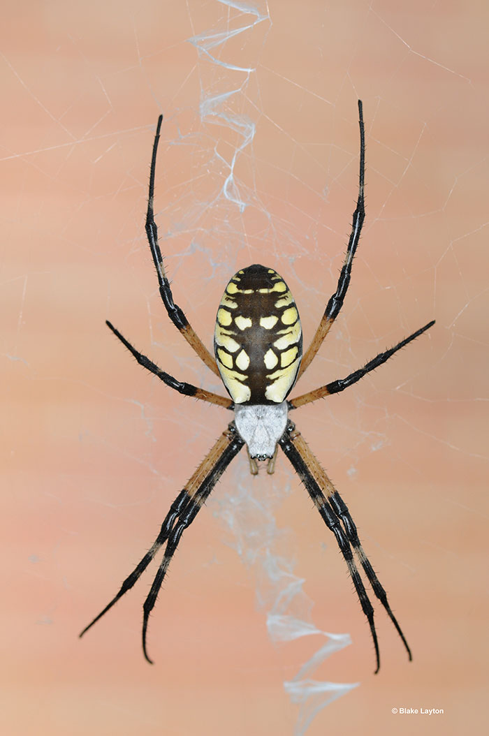 a black and yellow spider.