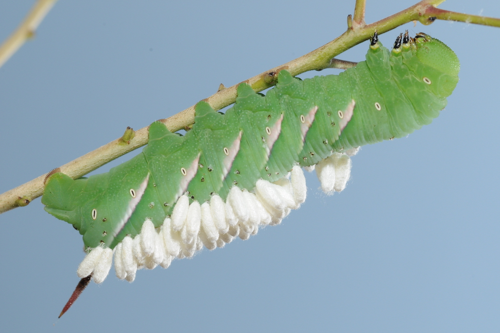 Green caterpillar with white oval-shaped cocoons attached to its back.
