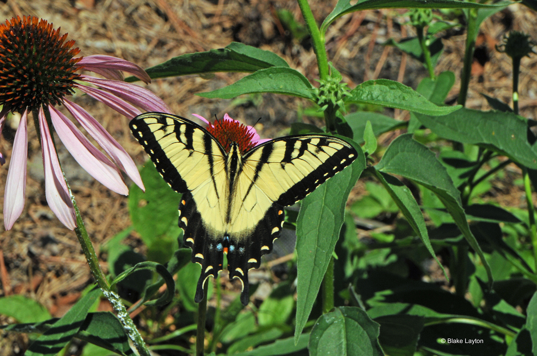 A yellow and black butterfly rests on purple flowers.