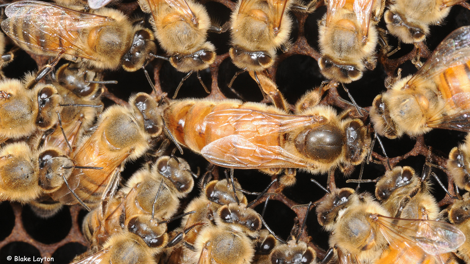 The Queen honey bee surrounded by worker bees.