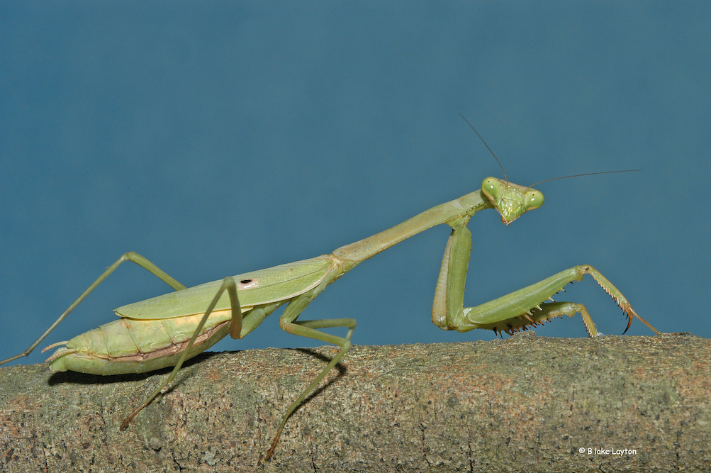 Green praying mantis.