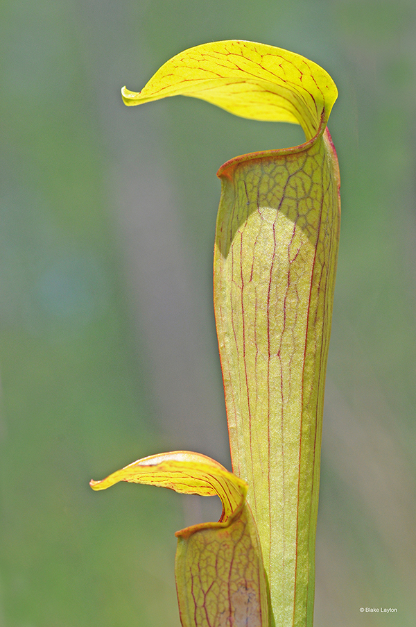 This yellow-green pitcher plant has red veins and is tubular with a flap over the top to prevent rain.