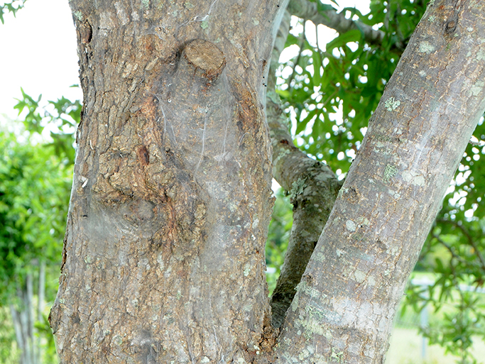 A white silk-like material on the trunk and large limb of tree caused by a Web-spinning barklouse, a brown, aphid-sized insect.