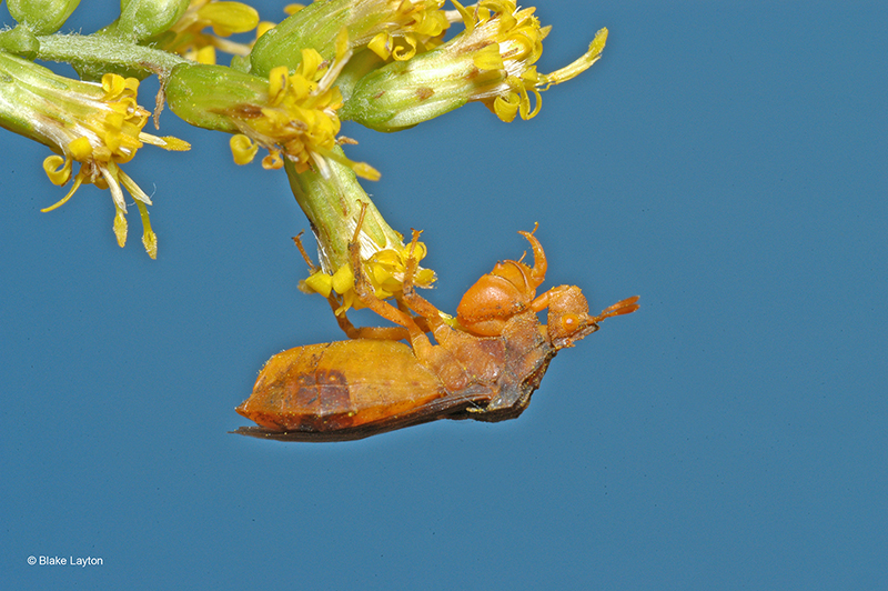 an ambush bug clinging to flower bloom.