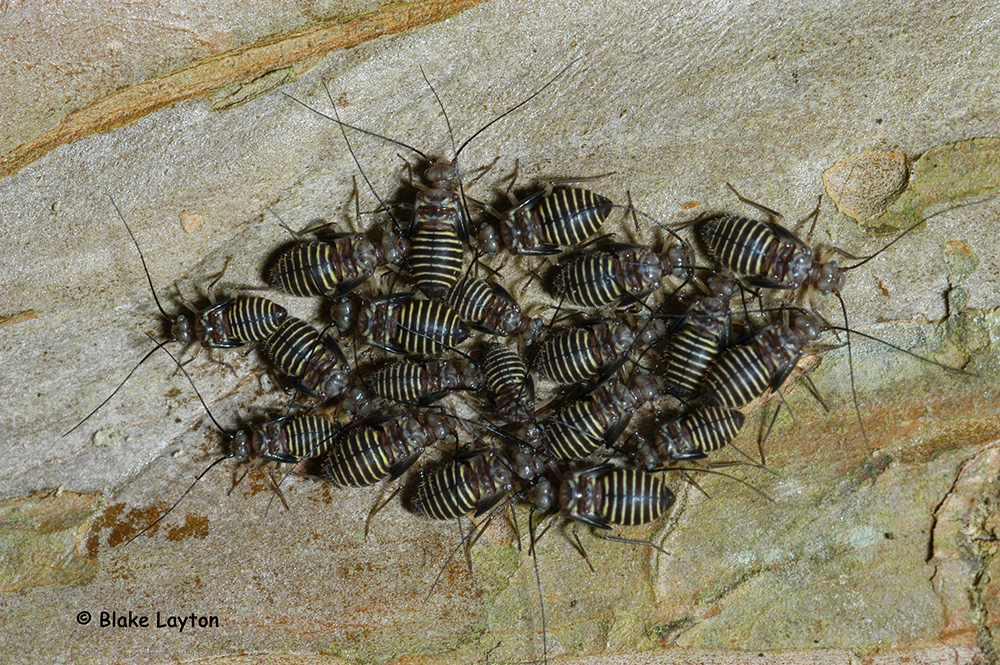 This is an image of a group of bark lice, black with yellow bands.