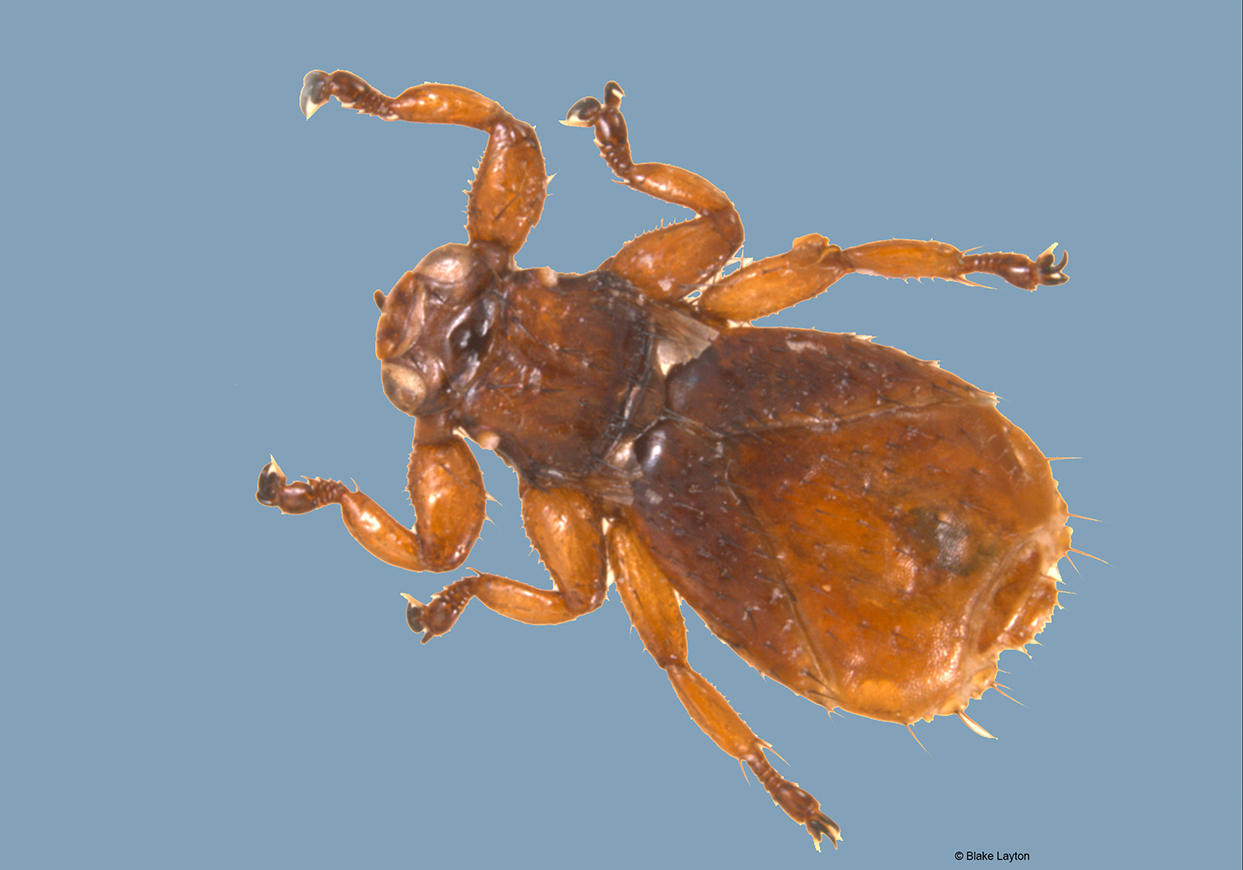 The neotropical deer ked resembles a deer tick, brown in color and has shed it's wings.